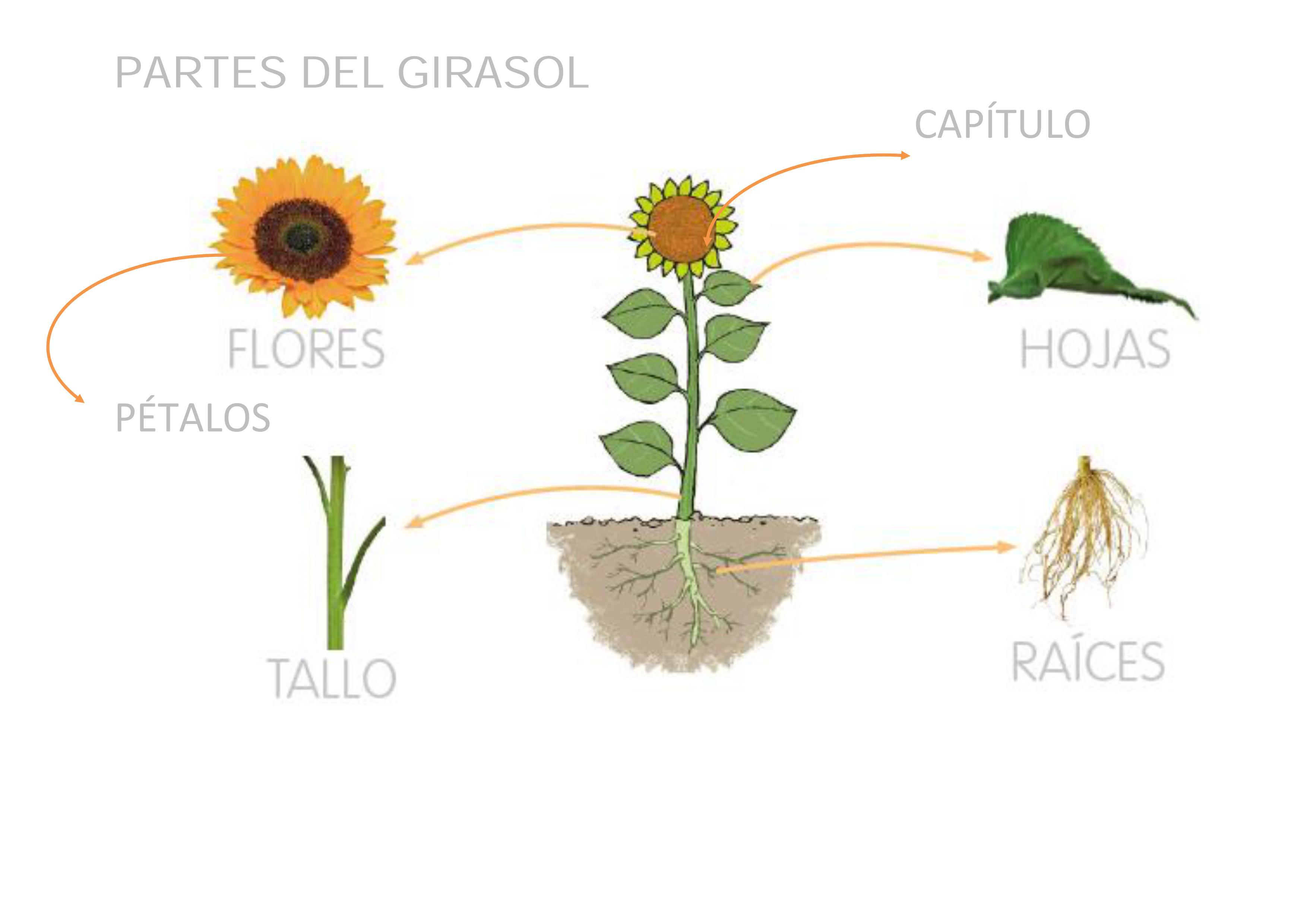 El girasol menuda planta descuaula for Un arbol con todas sus partes